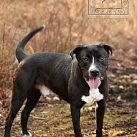 American Pit Bull Terrier/Labrador Retriever Mix Dog for adoption in Fredericksburg, Virginia - Sam- Tri County Pit Bull Rescue