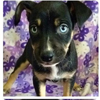 Husky/Spaniel (Unknown Type) Mix Puppy for adoption in Old Bridge, New Jersey - Faye
