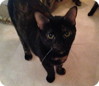 Calico Cat for adoption in Parkton, North Carolina - Pocket