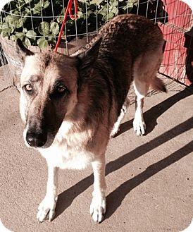 German Shepherd Dog Dog for adoption in Sacramento, California - Oswald