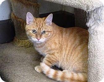Domestic Shorthair Kitten for adoption in Lathrop, California - Jasper