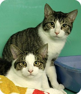 Domestic Shorthair Kitten for adoption in Montclair, New Jersey - Mike and Ike