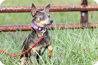 Chihuahua Dog for adoption in Myakka City, Florida - Jose