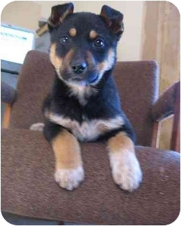 Doberman Pinscher/Australian Shepherd Mix Puppy for adoption in Piedmont, Missouri - Darcy