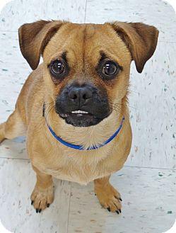 Chihuahua Mix Dog for adoption in Chambersburg, Pennsylvania - Chi Chi