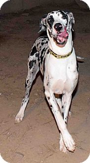 Great Dane Dog for adoption in Phoenix, Arizona - LOLA