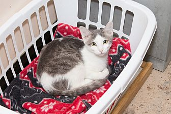 Domestic Shorthair Cat for adoption in Chicago, Illinois - Pan