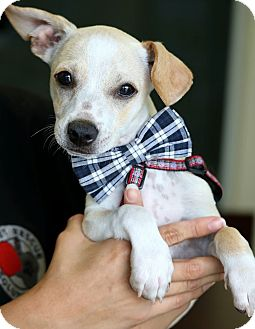 Terrier (Unknown Type, Small) Mix Puppy for adoption in South El Monte, California - Mojo