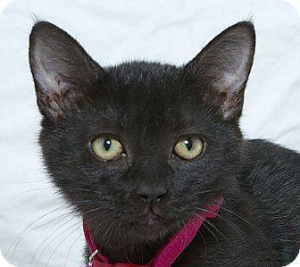 Domestic Shorthair Kitten for adoption in Sacramento, California - Ruby M