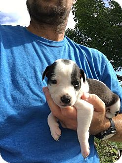 Terrier (Unknown Type, Medium) Mix Puppy for adoption in Huntley, Illinois - Ivy