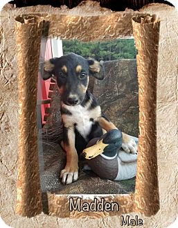 Shepherd (Unknown Type) Mix Puppy for adoption in East Hartford, Connecticut - Madden-pending adoption