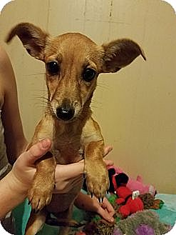 Chihuahua/Dachshund Mix Dog for adoption in Pittsburgh, Pennsylvania - Georgia