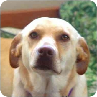 Labrador Retriever Mix Dog for adoption in Rolling Hills Estates, California - Laney