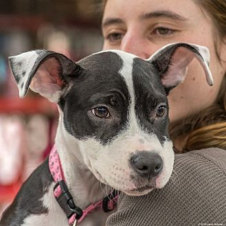 American Pit Bull Terrier Mix Puppy for adoption in New York, New York - Jazzy