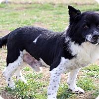 Chow Chow/Corgi Mix Dog for adoption in Waldorf, Maryland - Scrappy
