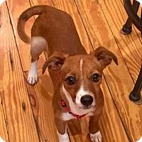 Foxhound/Terrier (Unknown Type, Medium) Mix Puppy for adoption in Sturbridge, Massachusetts - Honey