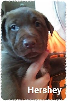 Labrador Retriever Mix Puppy for adoption in Aurora, Colorado - Hershey