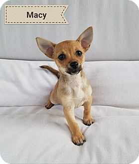Dachshund/Chihuahua Mix Puppy for adoption in Thousand Oaks, California - Macy