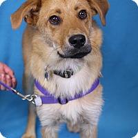 Adopt A Pet :: Comet - Minneapolis, MN
