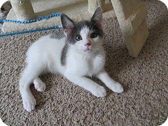 Manx Kitten for adoption in Lexington, Kentucky - Jim Bob