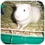 Photo 1 - Guinea Pig for adoption in Slidell, Louisiana - Snowflake