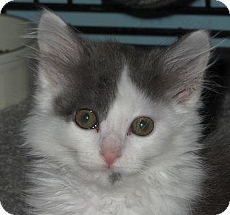 Domestic Mediumhair Kitten for adoption in Richfield, Ohio - Misty