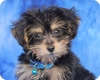 Yorkie, Yorkshire Terrier/Poodle (Toy or Tea Cup) Mix Puppy for adoption in Thousand Oaks, California - Beethoven