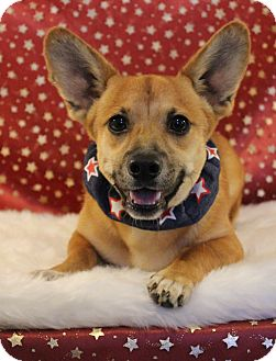 Corgi/Terrier (Unknown Type, Small) Mix Dog for adoption in Westport, Connecticut - *Corky - PENDING