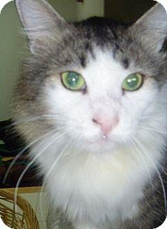 Domestic Longhair Cat for adoption in Hamburg, New York - Timberwolf