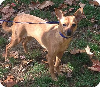 Chihuahua Mix Dog for adoption in Bloomfield, Connecticut - Tutu