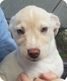 Labrador Retriever Mix Puppy for adoption in Orlando, Florida - BBoy#5M