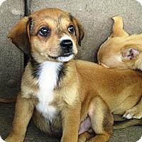 Adopt A Pet :: FLYNN - Carrollton, TX