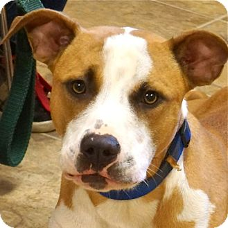 American Pit Bull Terrier Mix Dog for adoption in Sprakers, New York - Colin