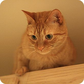 Domestic Shorthair Cat for adoption in Columbia, Maryland - Mitch