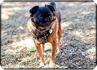 Brussels Griffon Dog for adoption in Montara, California - MONTE- ADOPTION PENDING