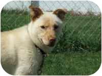 Labrador Retriever/Chow Chow Mix Puppy for adoption in Coleraine, Minnesota - Ciao
