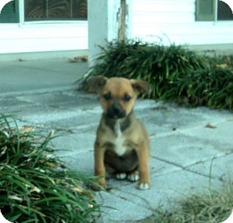 Terrier (Unknown Type, Small) Mix Puppy for adoption in Blountstown, Florida - Shay