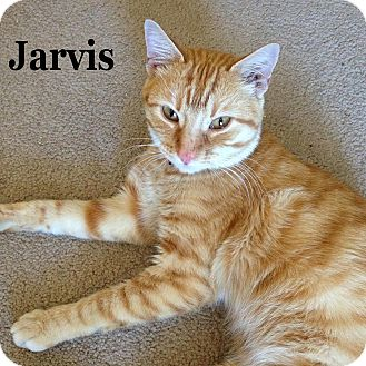 Domestic Shorthair Cat for adoption in Bentonville, Arkansas - Jarvis