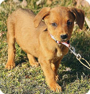 Dachshund Mix Puppy for adoption in Foster, Rhode Island - Libby
