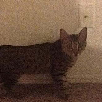 Domestic Shorthair Cat for adoption in Oviedo, Florida - Ozzie