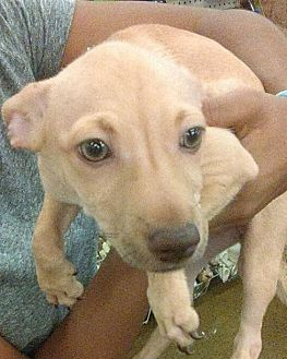 Rat Terrier/Chinese Crested Mix Puppy for adoption in Surprise, Arizona - April