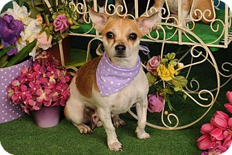 Chihuahua Dog for adoption in mishawaka, Indiana - Heavenly