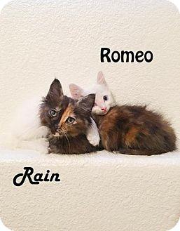 Domestic Mediumhair Kitten for adoption in Redwood City, California - Rain