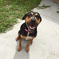 Hound (Unknown Type)/Doberman Pinscher Mix Dog for adoption in Myakka City, Florida - Charlotte
