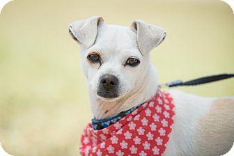 Fox Terrier (Toy)/Italian Greyhound Mix Dog for adoption in Irvine, California - Emmeth