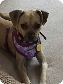 Pug Mix Dog for adoption in Huntington Beach, California - Pumpkin