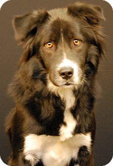 Border Collie/Labrador Retriever Mix Dog for adoption in Newland, North Carolina - Rebel