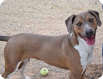 Hound (Unknown Type) Mix Dog for adoption in Sierra Vista, Arizona - Legion