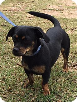 Dachshund Mix Dog for adoption in Marble Falls, Texas - Stacey