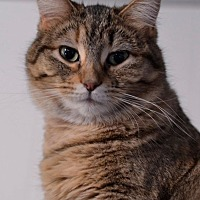 Adopt A Pet :: Tweety - Geneseo, IL